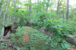 This oak was felled by Hurricane Irene in 2011. For three years it leafed out lying down.