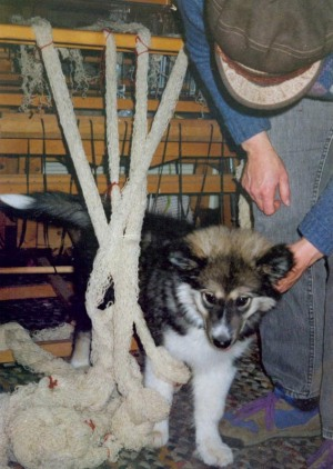 Puppy Rhodry tangled up in Marilyn's weaving, ca. February 1995. That's me standing by.
