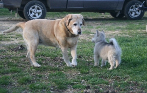 Puppy Travvy (right) meets Chamois, a mature yellow Lab, spring 2008.