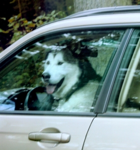 Dog in driver's seat